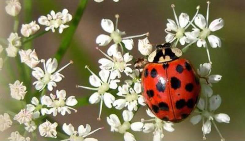 El escarabajo Harmonia axyridis se considera invasivo en Dinamarca. / NATURA / REUTERS - LIVE