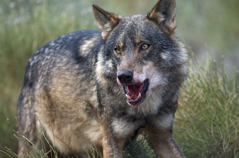 Iberian Wolf (Canis lupus sygnatus)