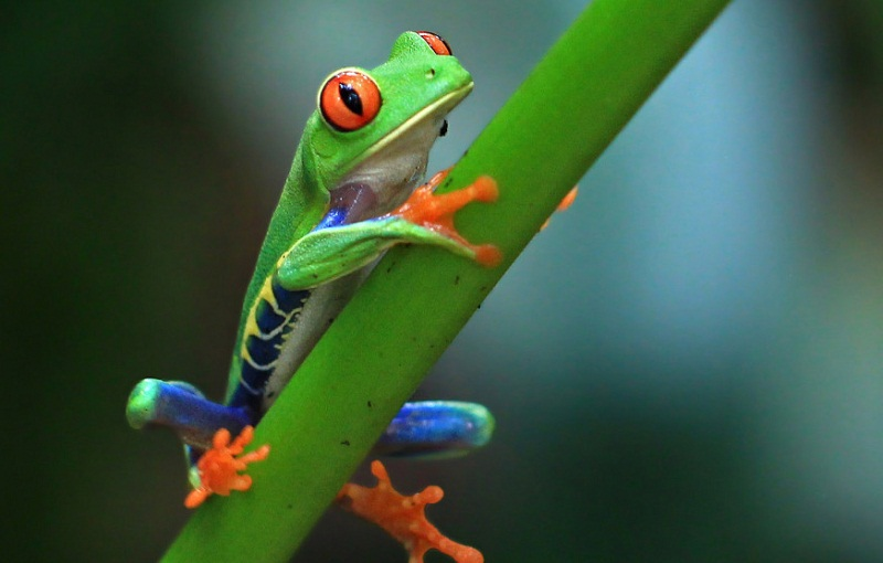 web-costa-rica-nature-frog-green-victor-cc