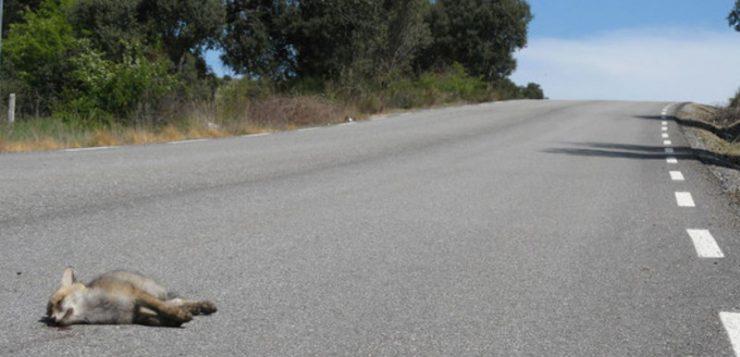 La atracción fatal de los zorros hacia las carreteras