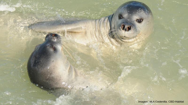 Subadultos-de-foca monje jugando