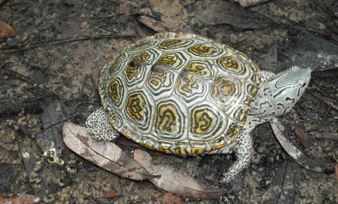 tortuga-nativa-eeuu-bermudas