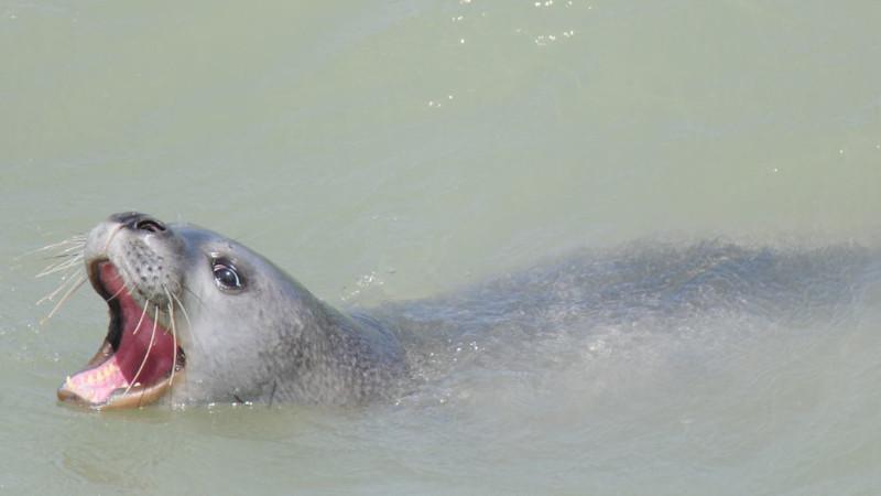 foca-monje