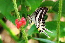 espectacular-mariposa