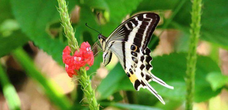 Papilio natewa, una nueva especie de mariposa