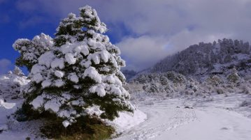 pinsapo-nevado