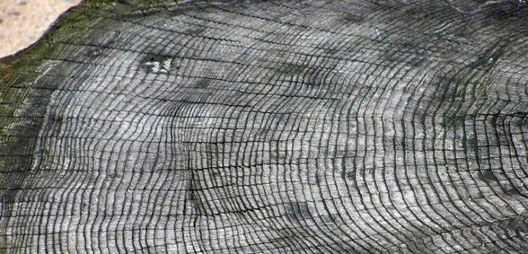 ¿Qué edad tiene el árbol más viejo del mundo?